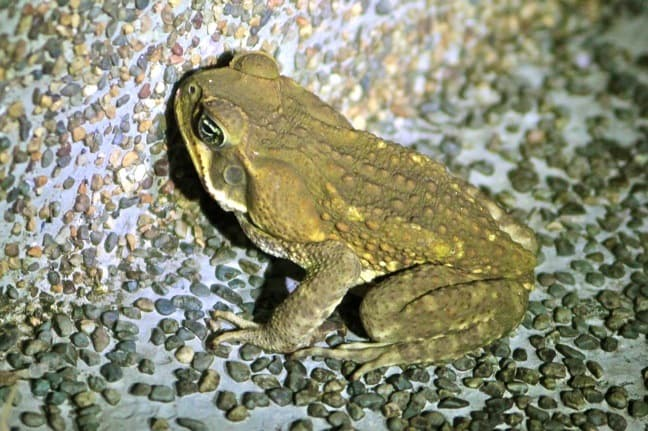 Evergreen Toad in Corcovado National Park