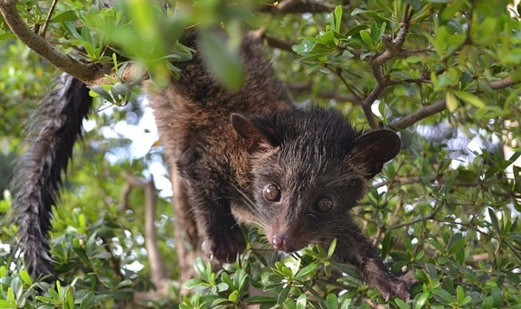 Wild Civet in Indonesia, the source of Kopi Luwak Coffee