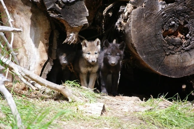 Wolf_pups_Wood_River_Wolf_Project