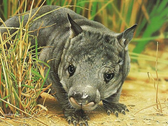 Weird Animals, Northern Hairy-Nosed Wombat