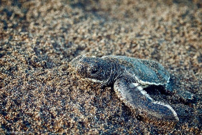 Sea Turtle Baby in Tortuguero National Park