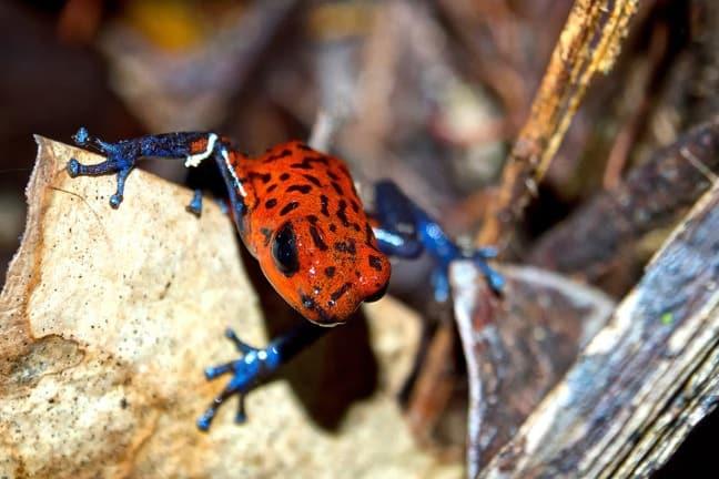Strawberry Poison Dart Frog in Tortuguero National Park