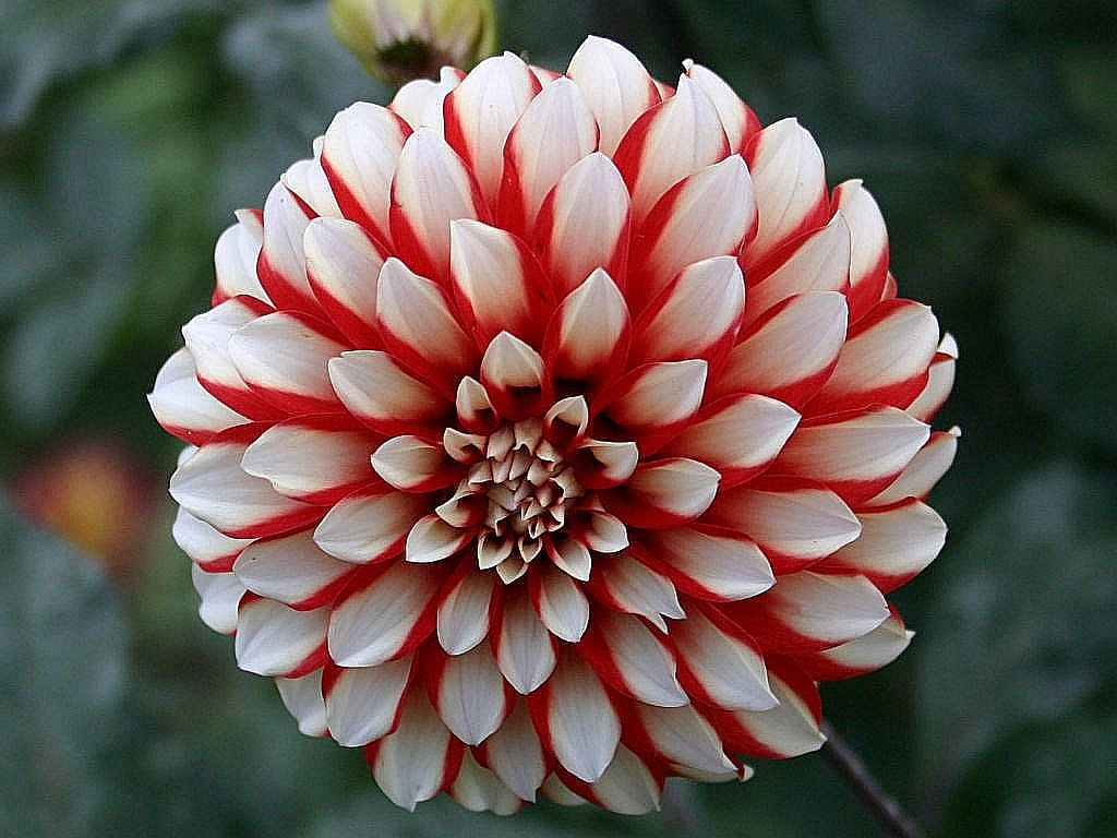 Dahlia Flower Useful Tips To Grow Dahlias