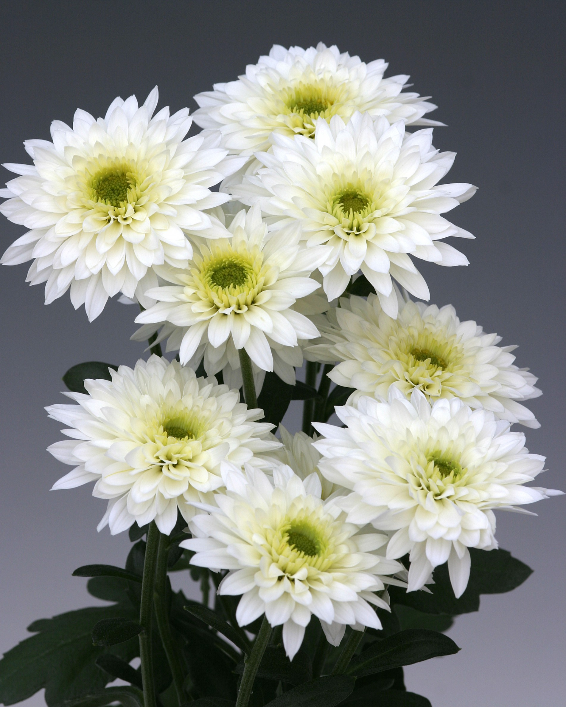 Chrysanthemum Indicum Winterhart Chrysanthemen