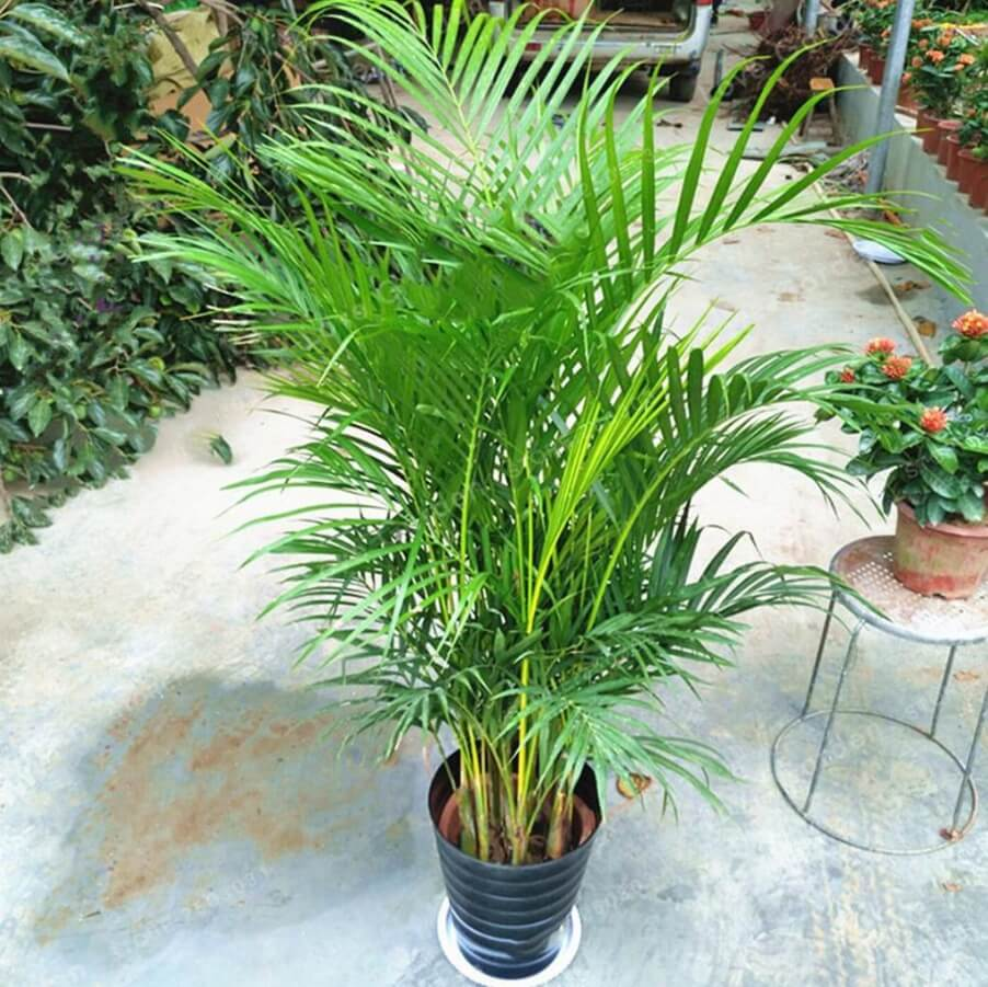 Chrysalidocarpus Lutescens Seeds Palm Seeds 5pcs Pack