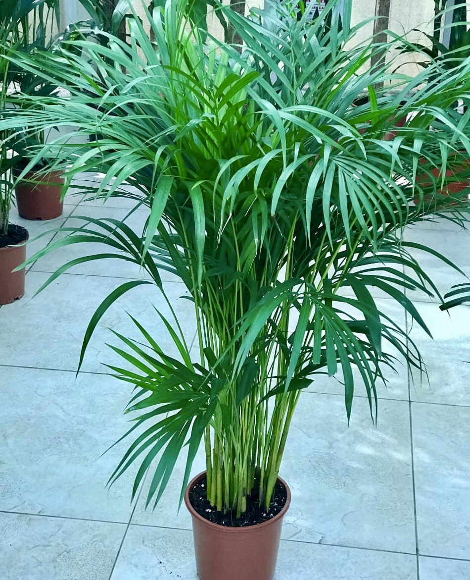 Chrysalidocarpus Lutescens Or Areca Palm Buy Online