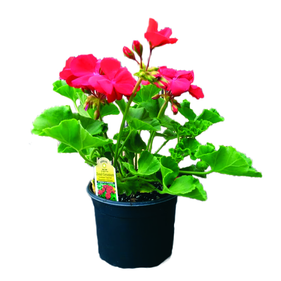 Where To Buy Indoor Plants Online Local Supplier Preview And Sale Sommarstuga Farms Potted Plants