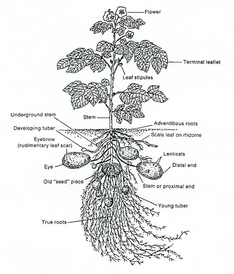 diagram of a potato plant
