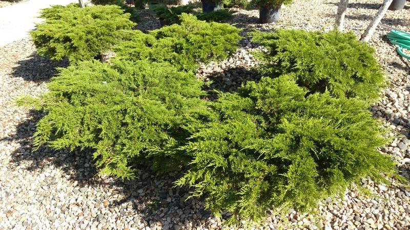 Calgary Carpet Juniper Juniperus Sabina 39monna