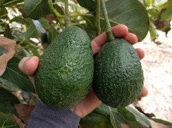 Beautiful Sourncalifornia When To Pick Avocados Greg Yard Food Gardening When To Pick Avocados Greg Yard Food Gardening How Long Do Avocados Last After Cut How Long Do Avocados Last On Counter