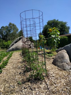Posh Cherry Tomato Plant Tall Way To Support Tomato Plants Greg Yard Posts Texas Tomato Cages Amazon Texas Style Tomato Cages