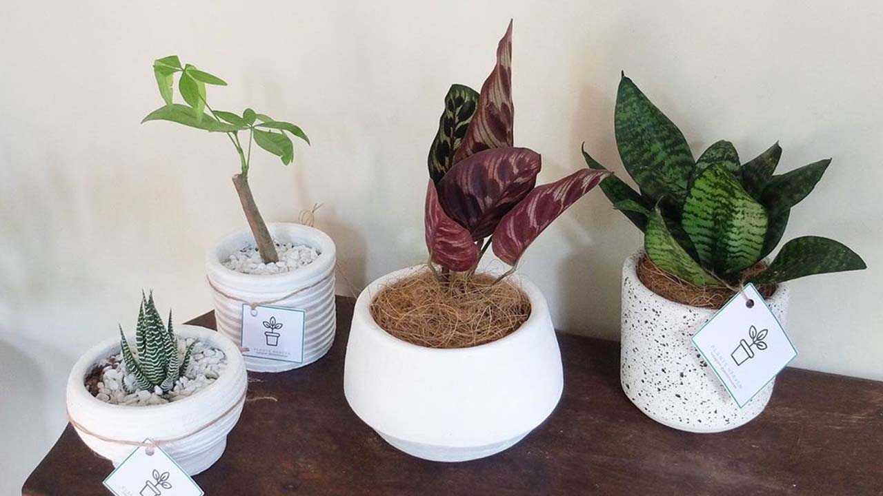 Where To Buy Indoor Plants Online Where To Buy Indoor Plants Online In Manila Plants Heaven Ph