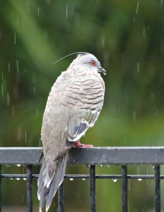 Wet crested pigeon