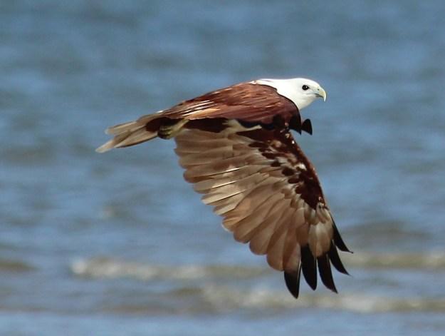 A Brahmani kite angles its wings as it flies down the beach