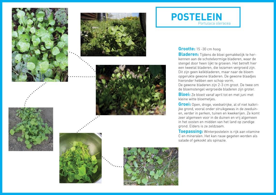postelein informatie - groene avonturen