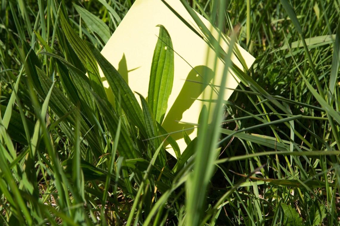Smalle Weegbree - Groene Avonturen