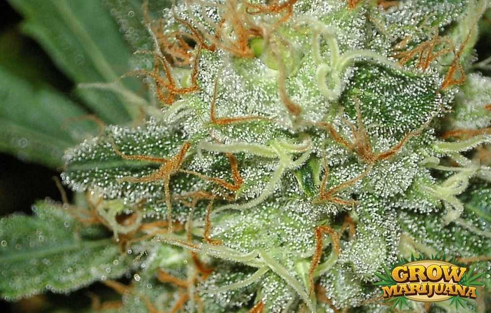 Green White Pink Girl Scout Wallpaper Crystal Seeds Strain Review Grow Marijuana Com