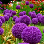 All sorts of Alliums
