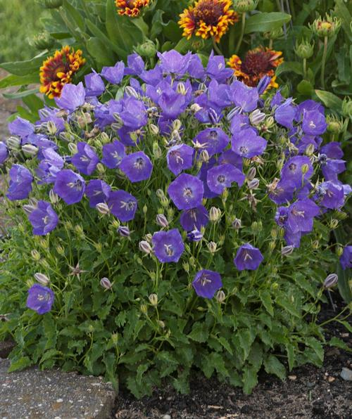 Potting Bench Bellflower Campanula Carpatica Pearl Deep Blue From