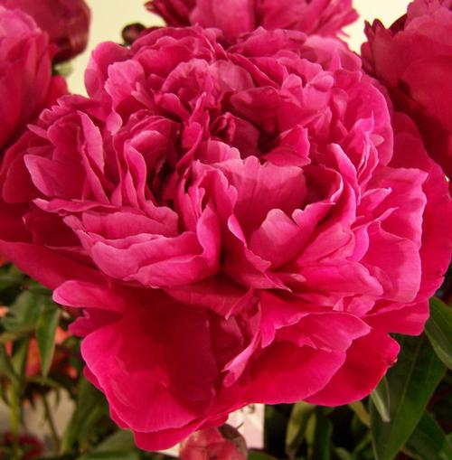 Potting Bench Garden Peony Peony Red Sarah Bernhardt From Growing Colors