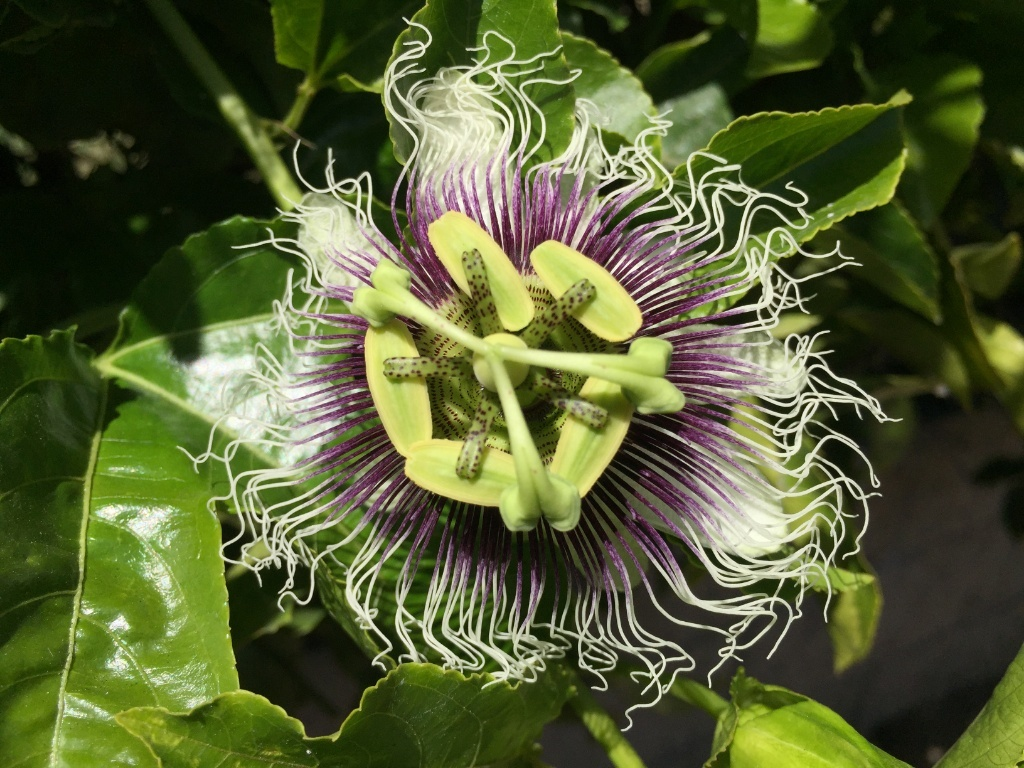 Passiflora Edulis Passiflora Edulis Quotfrederick Quot Pictures Growing Fruit