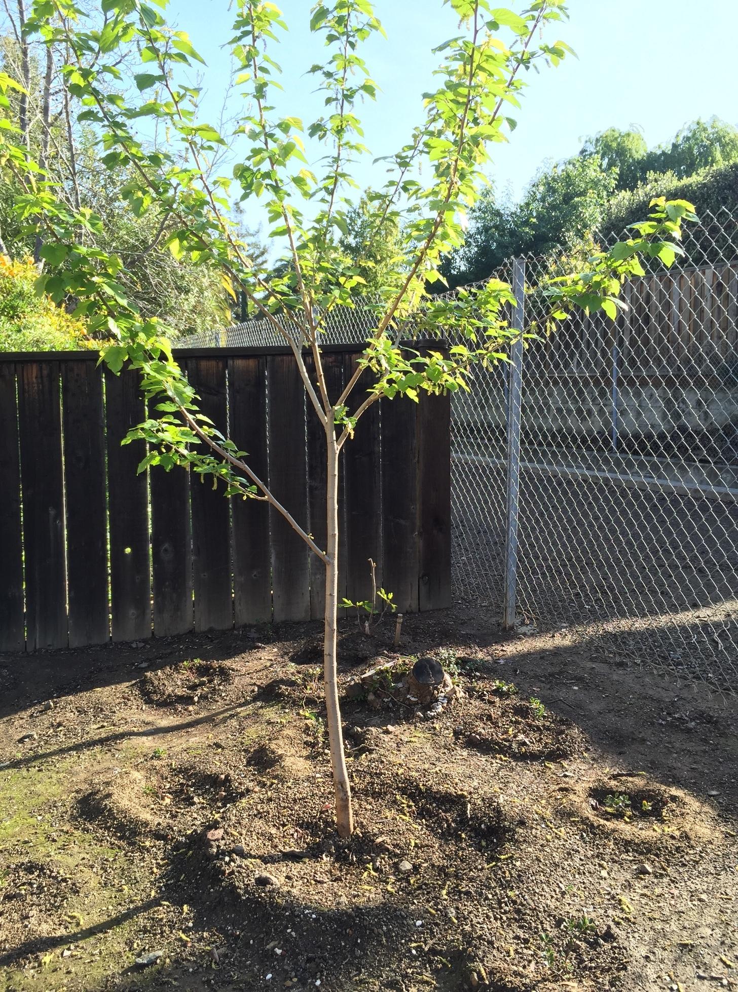 Fullsize Of Dwarf Mulberry Tree
