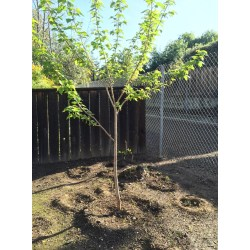 Small Crop Of Dwarf Mulberry Tree