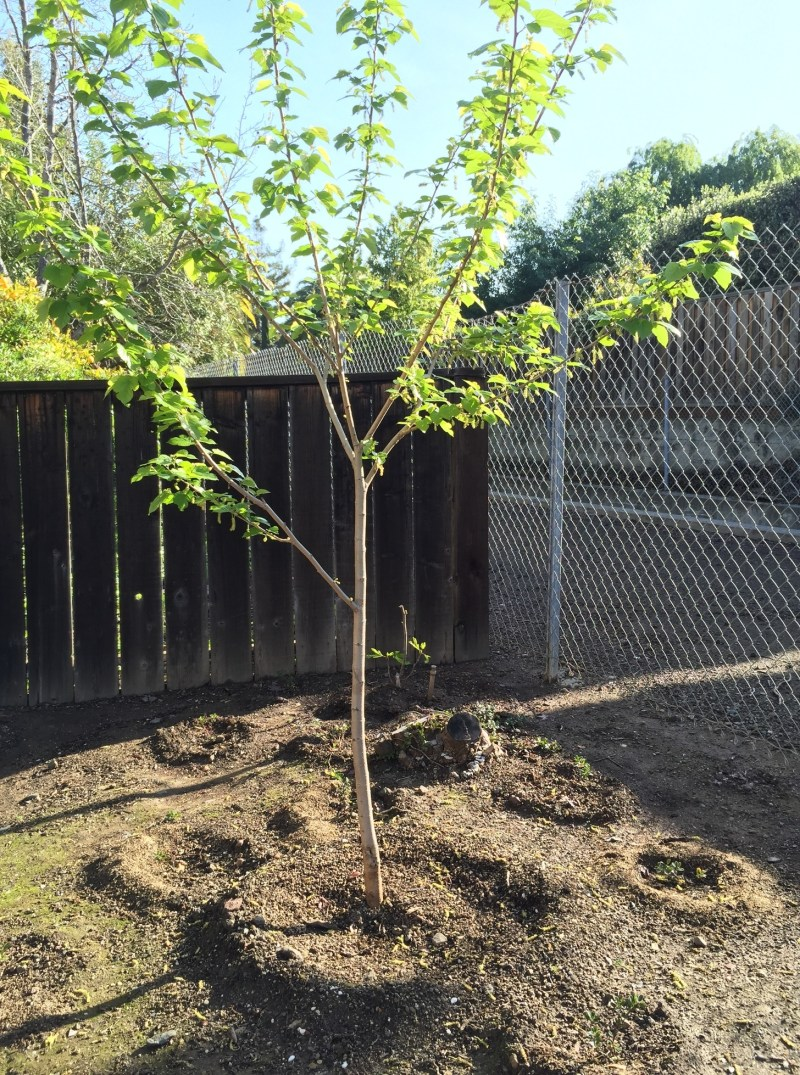 Large Of Dwarf Mulberry Tree
