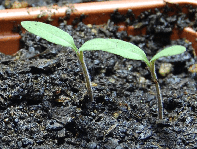 Growing Tomatoes From Seed - Starting From Scratch • Growing