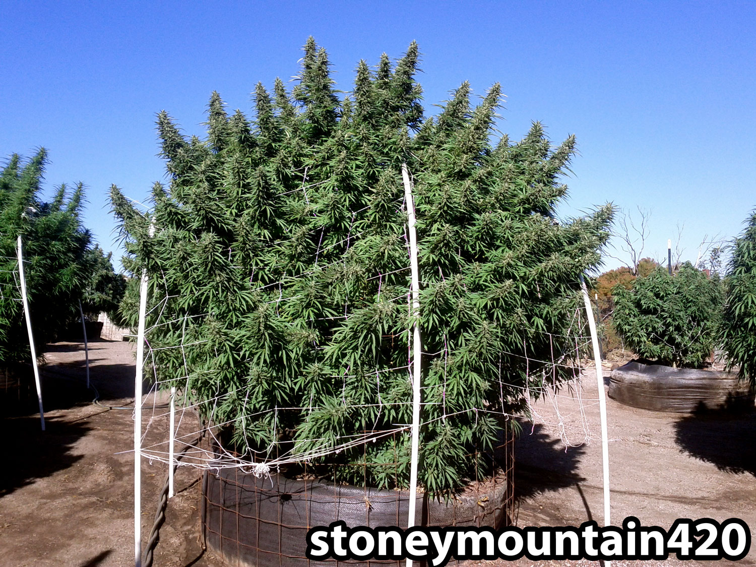 Big Pot Plants How To Get To Harvest Faster Grow Weed Easy