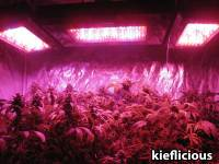 Which LED Grow Lights Are Best for Growing Cannabis ...