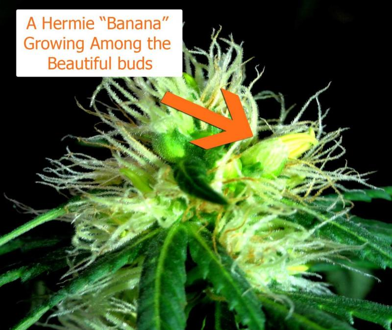 Large Of Plants That Look Like Marijuana