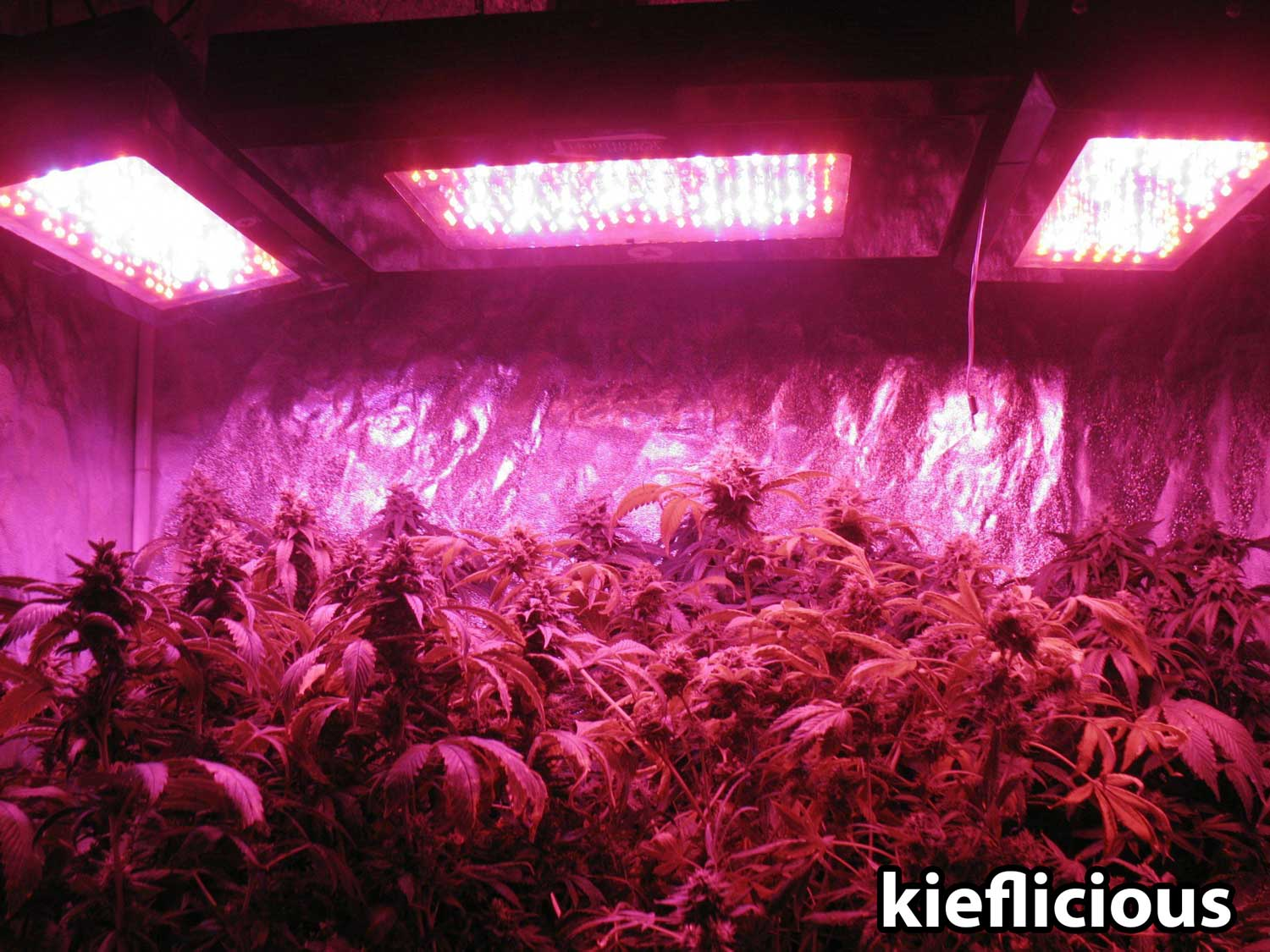 Grow Lights For Indoor Plants Which Led Grow Lights Are Best For Growing Cannabis