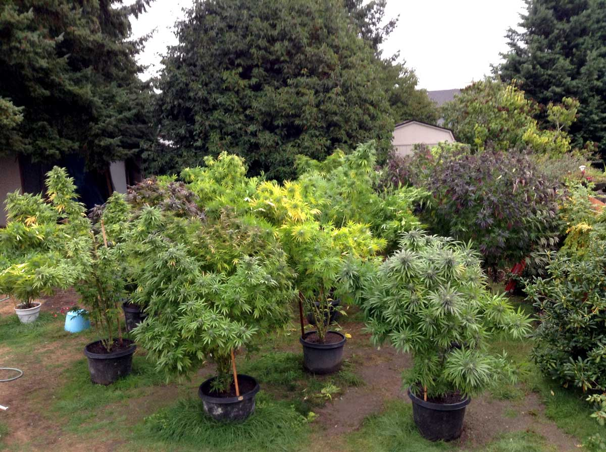 Big Pot Plants Stealth Ideas For Growing Weed Outdoors Grow Weed Easy