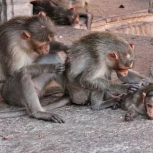 family of monkeys india