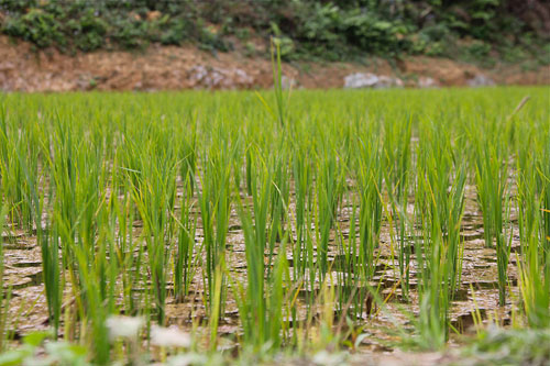 rice paddy fields in laos
