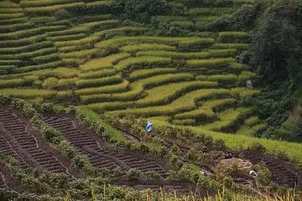 rice fields in nepal
