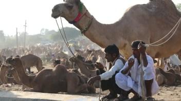 pushkar camel fair, pushkar mela