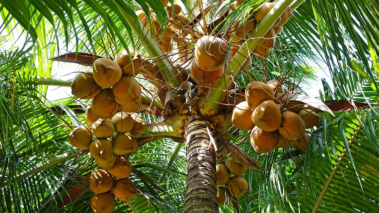 Falling Into Water Wallpaper Coconut Depletion Of Trees Raises Fear Of Extinction