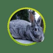 conejo-chinchilla