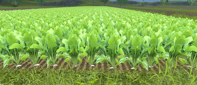 Growing Sugar Beets   Agriculture - Farming Simulator 2013 Game