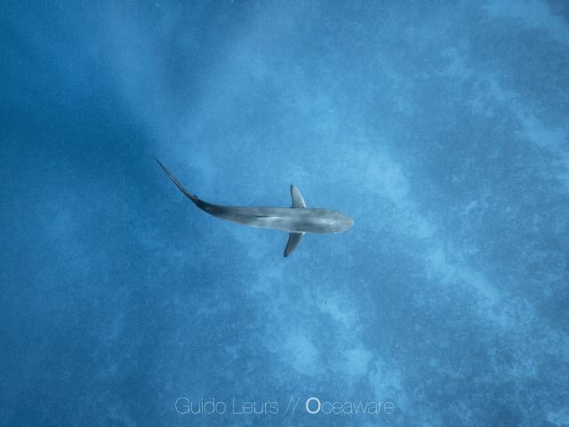 Carcharhinus_falciformis_GuidoLeurs2018_11
