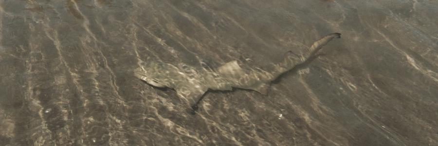 Young lemon sharks of Statia