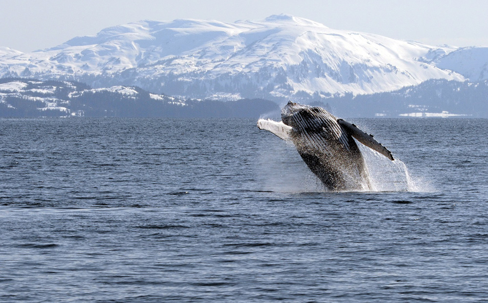 Late Fall Wallpaper Nature Humpback Whales Gulf Watch Alaska