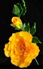 Texas Yellow Rose Flower