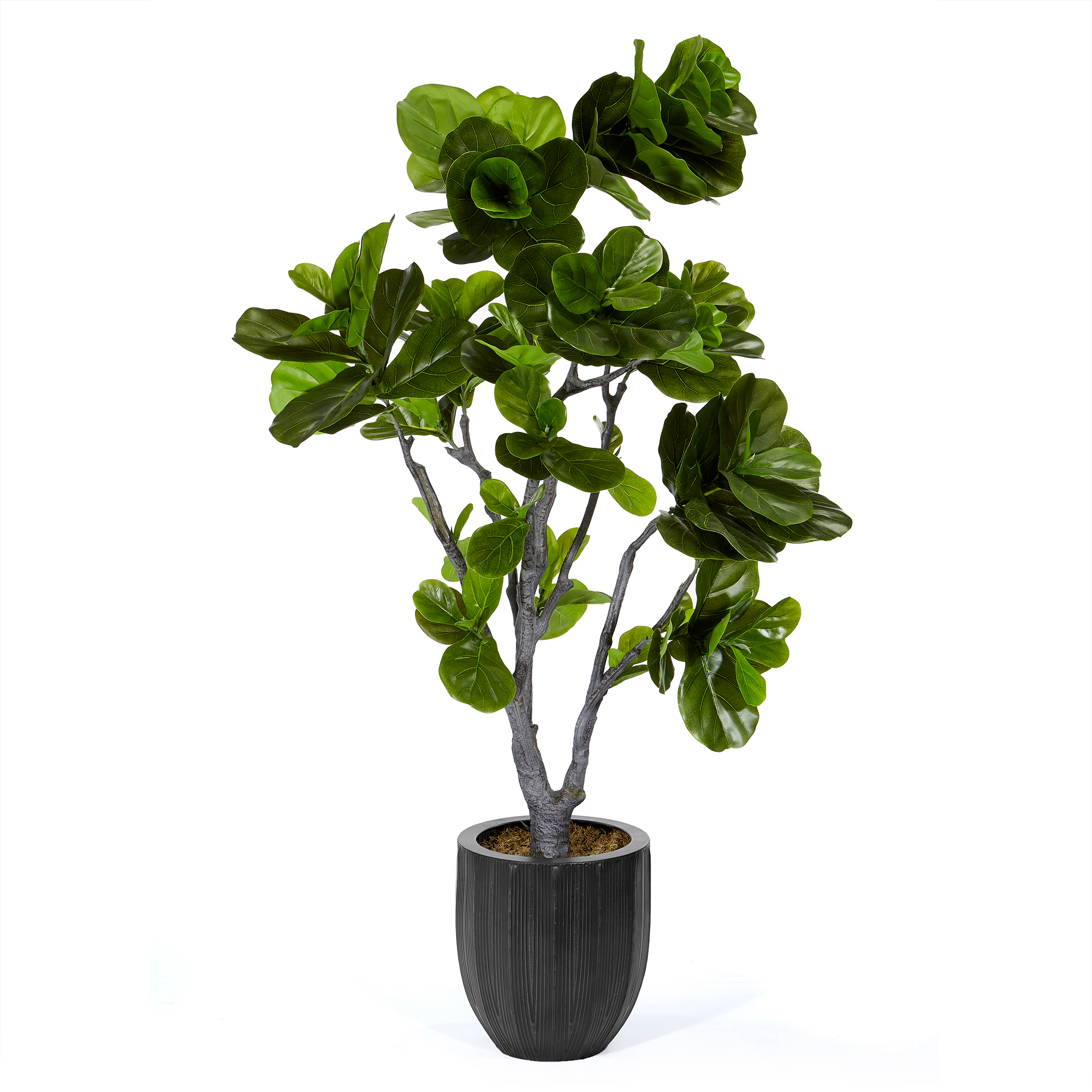 Fiddle Leaf Fig Tree Fiddle Leaf Fig Tree Gump 39s
