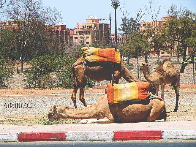 Camels outside Menara Gardens, Marrakech, Morocco