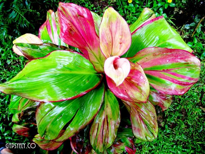 Croton at Spice Tree, Munnar | Kerala