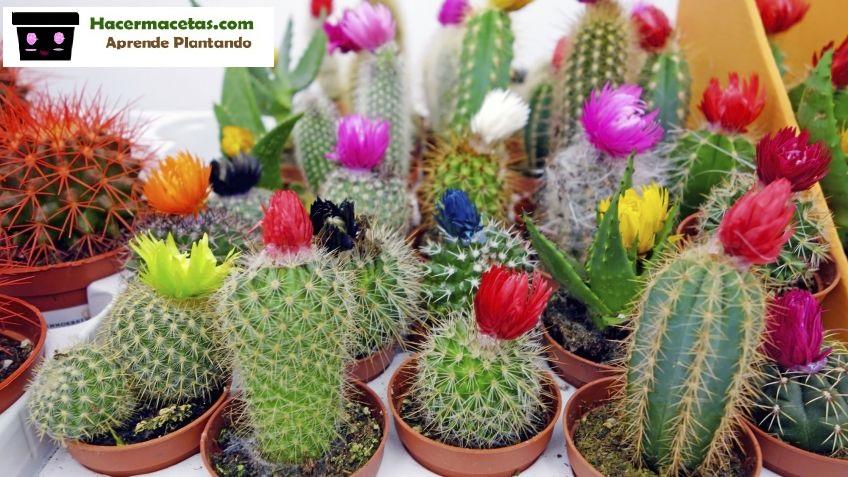 cactus pequeños florados