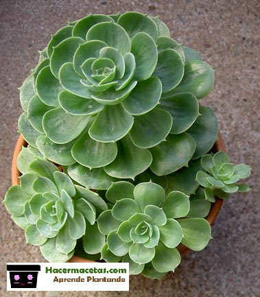 plantas suculentas echeverrias